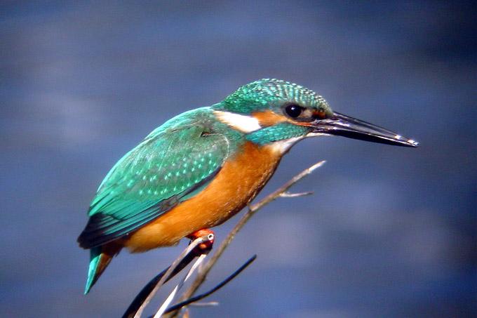 野川の野鳥 カワセミ科